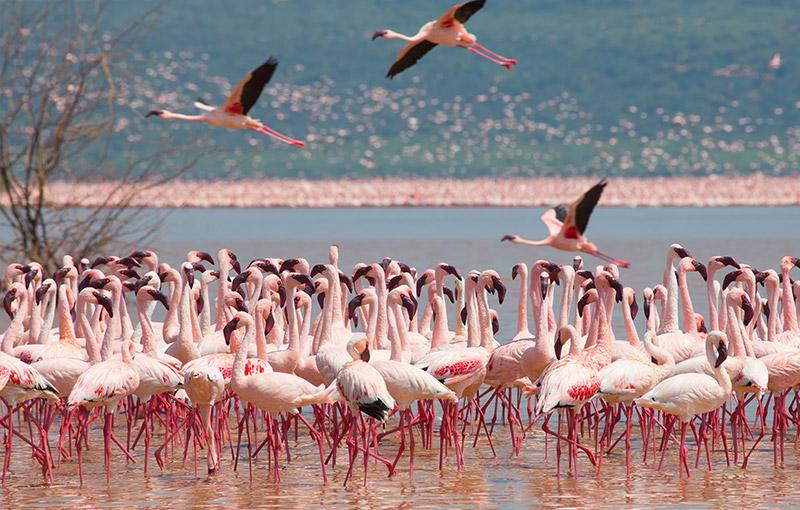 納庫魯湖國家公園 / 白犀牛自然保護區 / 紅鶴群