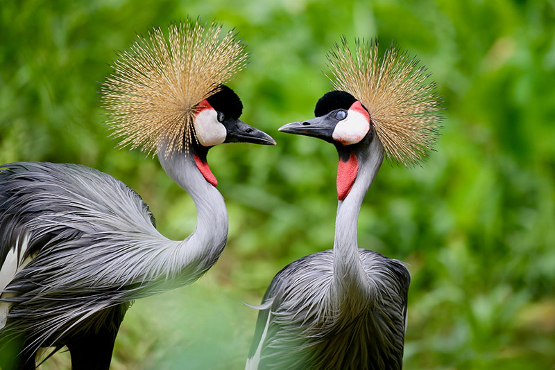 東非灰冠鶴